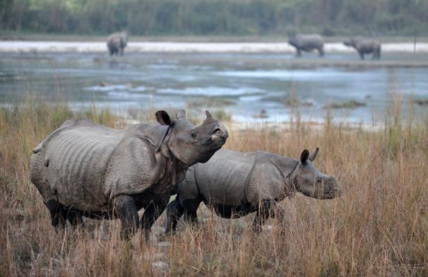 rhinocéros Indiens à Chitwan.jpg