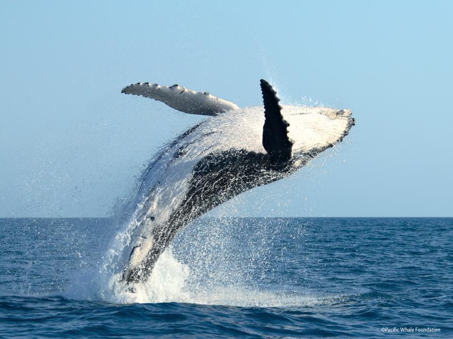 saut baleine à bosse.png