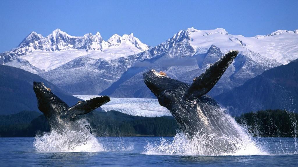 Baleine à bosse 3.jpg