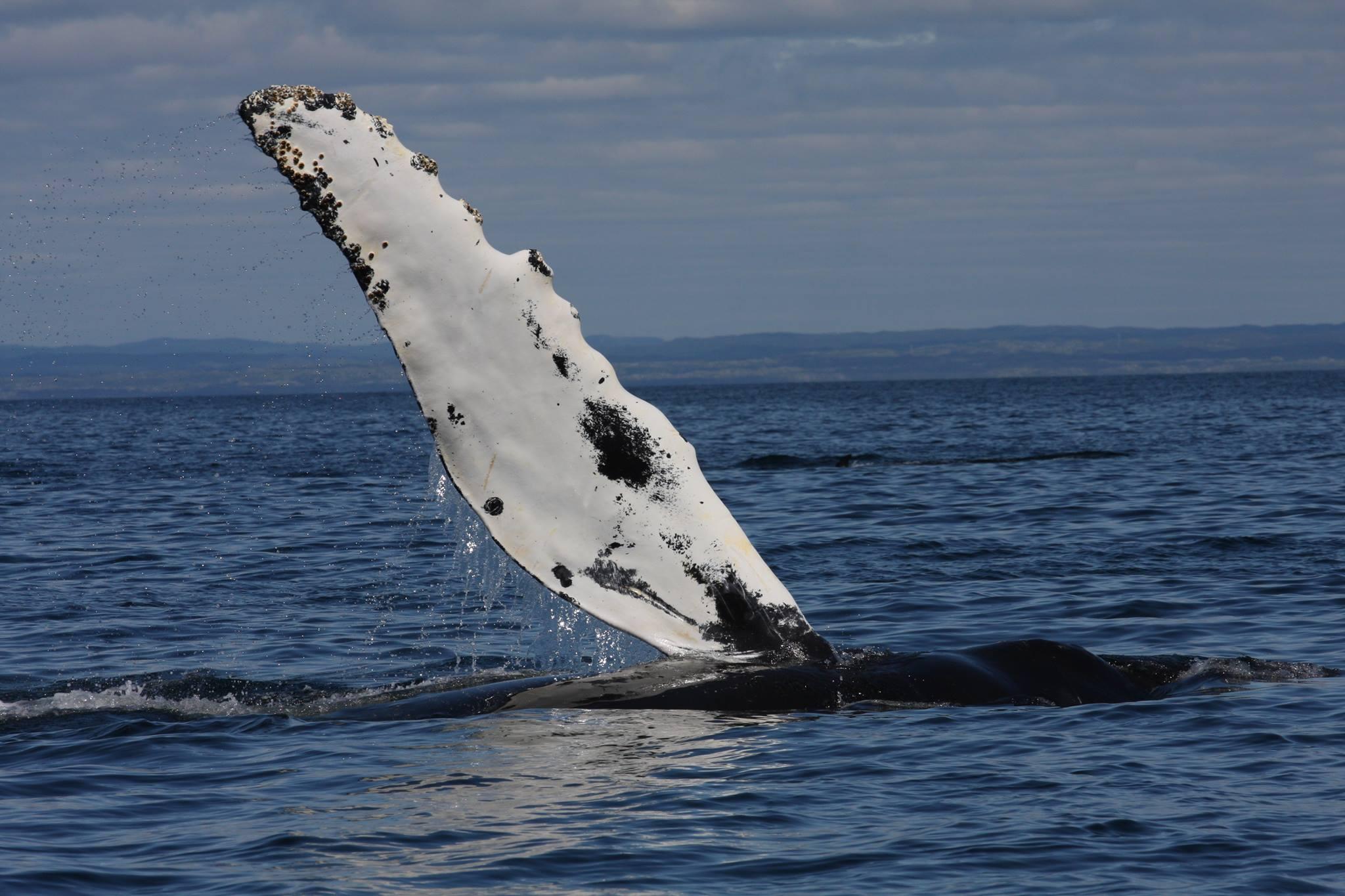 Baleine à bosse (4).jpg