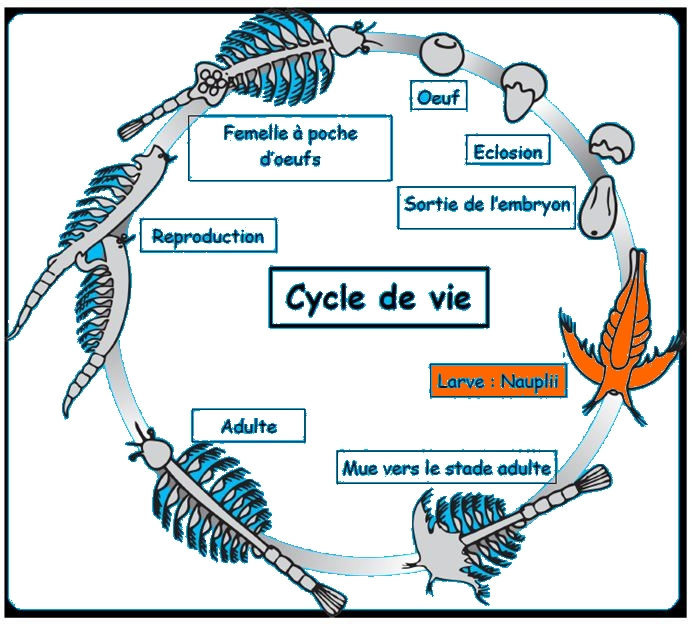 Cycle de Vie nauplii.JPG