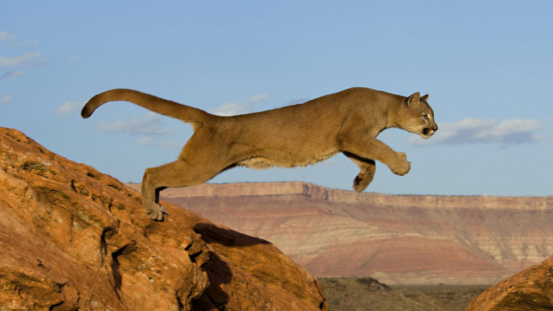 grand-canyon-mountain-lion.jpg