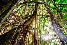 arbre liane.jpg