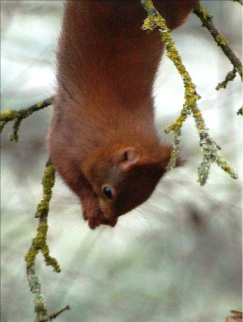 Ecureuil des Cèdres la tête à l'envers