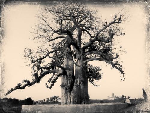 Small IMG_4149 Baobab.jpg