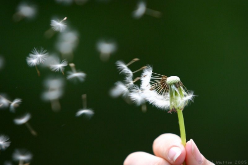 dandelion_seeds_being_blown.jpg
