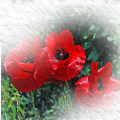 https://static.blog4ever.com/2012/11/720506/fond-coquelicots3.png