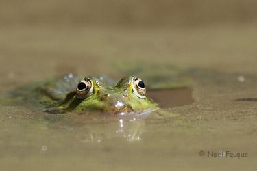 https://static.blog4ever.com/2012/11/720911/Grenouille--Noel-Fouque-Photographe-Site-Blog-Bonjour-Bien-Etre.jpg