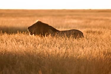 https://static.blog4ever.com/2012/11/720911/Lion-Blog-Bonjour-Bien-Etre.jpg