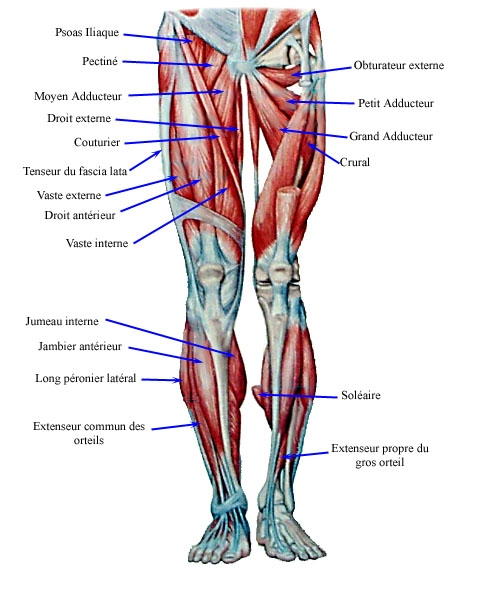 muscles-membre-inferieur.jpg