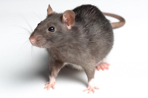 rat_6.jpg