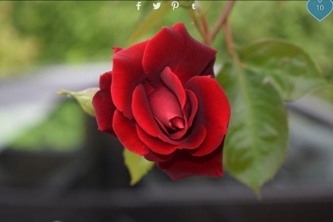 rose prime au concours photo gurushots par Speddy