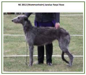 Deerhound3.jpg