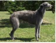 Deerhound standard1.jpg