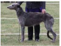 Deerhound standard3.jpg