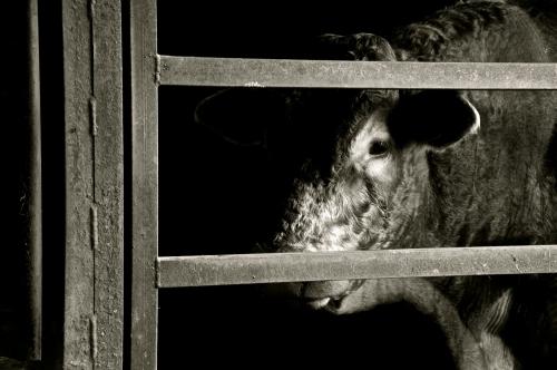 L'oeil du taureau.jpg