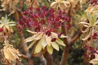 Euphorbia_atropurpurea______03_06_2009_2.JPG