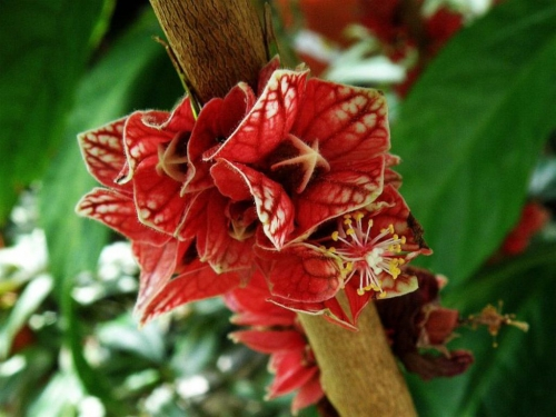Pavonie (Pavonia strictiflora).jpg