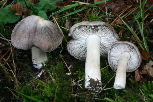 Tricholoma_terreum - Grisets du Ventoux.jpg