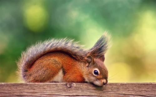 Canada-autumn-red-squirrel-rest_1280x800.jpg