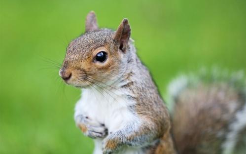 Squirrel-rodent-eyes-green-grass_1280x800.jpg
