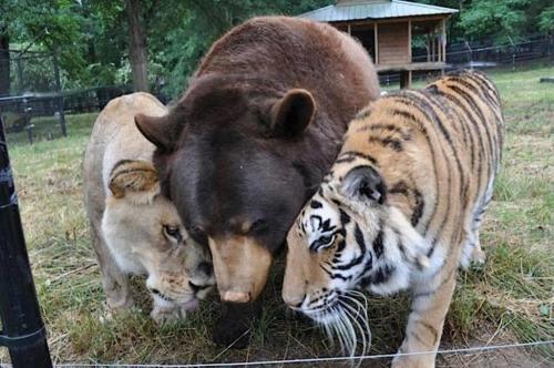 1 - Leo le lion Baloo l'ours brun et Shere Kahn le tigre.jpg
