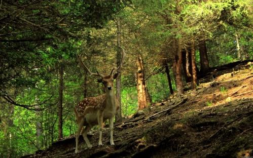 deer-in-the-forest-wallpaper-53312eee9bf3d.jpg