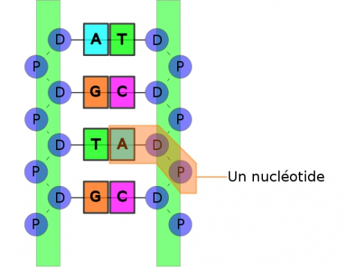 Structure ADN copie.jpg