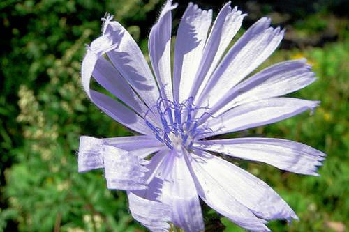 327840-fleur-des-champs.jpg
