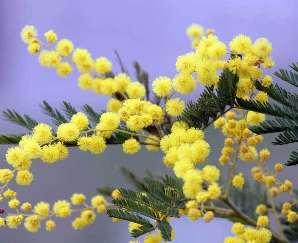 mimosa-2970960_1280