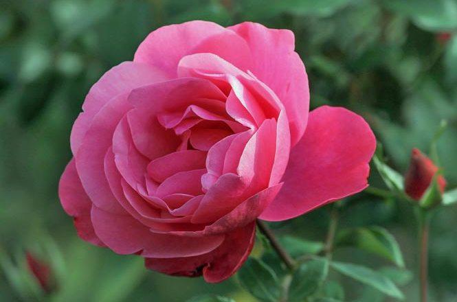 rose-fleur