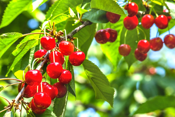 tailler-arbre-fruitier-content1-cerisier