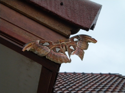 papillon (2).JPG