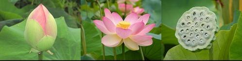 lotus (1)-horz.jpg
