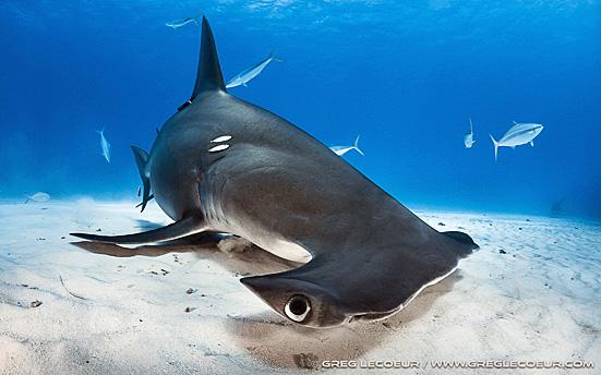 5. requins Greg b.jpg