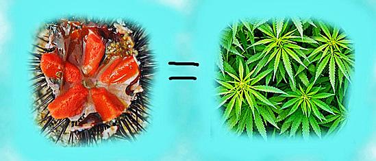 3. oursin canabis.jpg