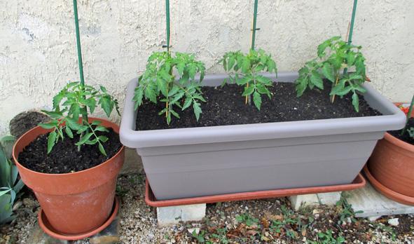 Tomates gréffées.jpg