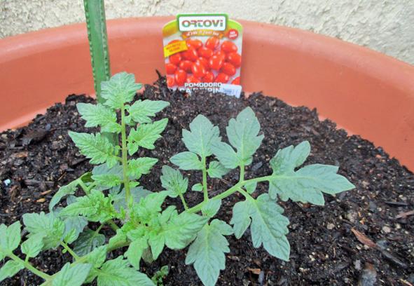 petites tomates allongées.jpg