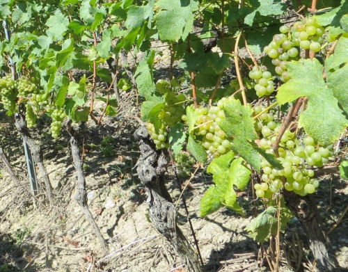 Vignes raisins blancs.jpg