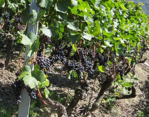 Vignes raisins rges.jpg