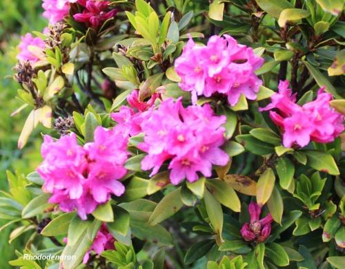 Rhododendron GP 02.28.06..jpg