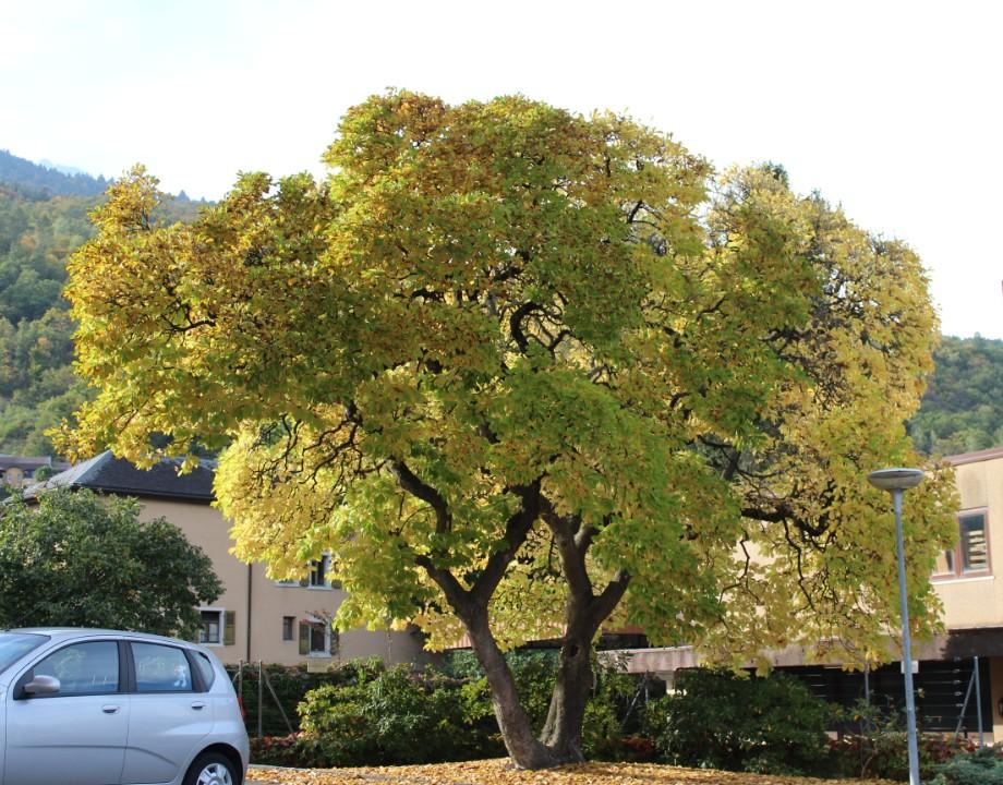 Arbre automne 11.10.Mty.jpg