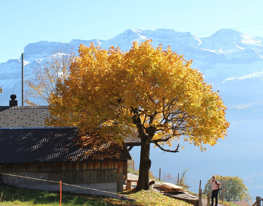 Arbre automne Planalp ..jpg