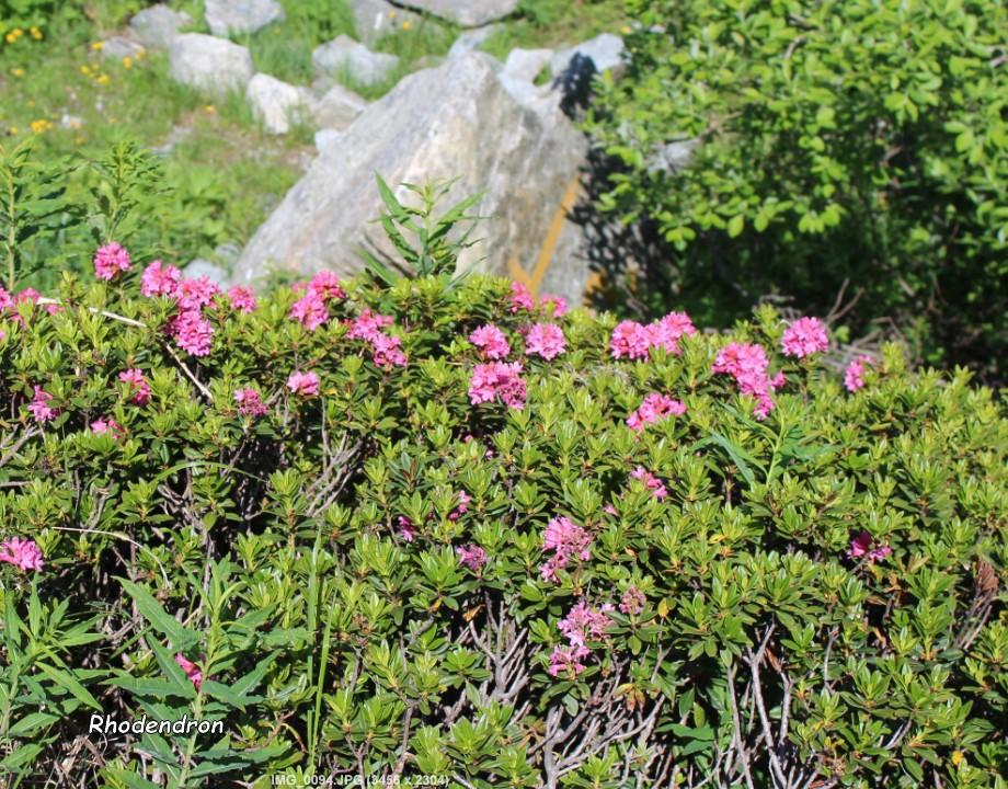 Rhododendron 01.10.07.jpg