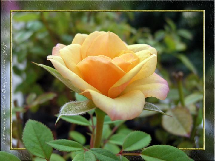 09-11_Rose-Jaune-Eclose.jpg