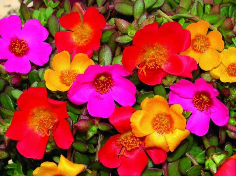 plante-plein-soleil-corolles-colorées-pourpier-grandes-fleurs-Portulaca-grandiflora.jpg