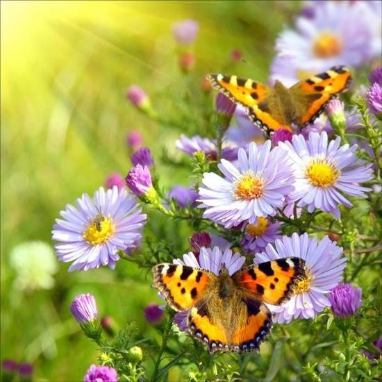 champ-de-fleurs-papillon.jpg