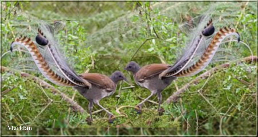 oiseau lyre.jpg