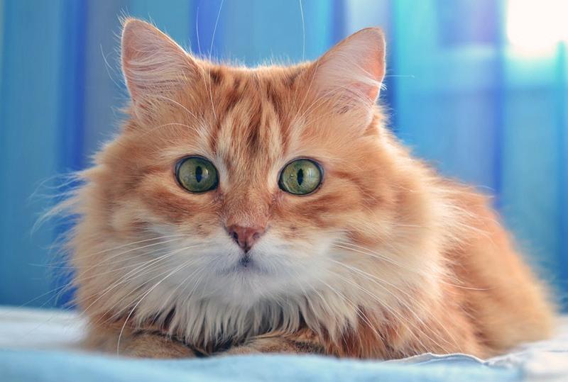 chat roux.jpg
