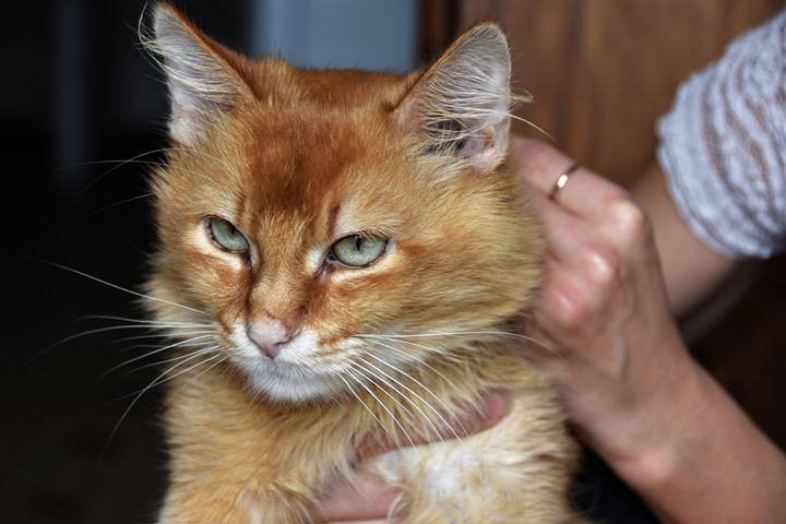 chat roux en colère.jpg